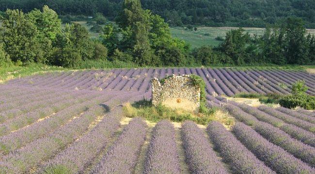 Provence - levandulové pole